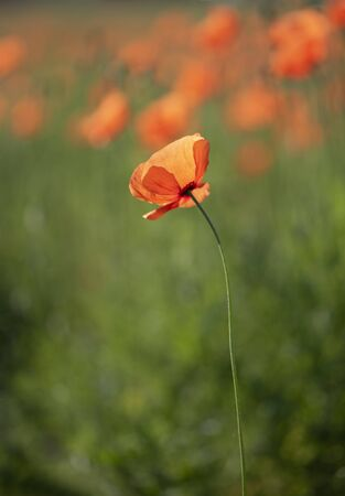 solitary poppy in the meadow