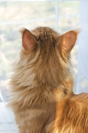 Portrait of a young large red marble Maine coon cat against a window with white curtains in the sunlight. Back view