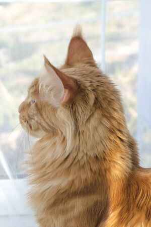 Portrait of a young large red marble Maine coon cat against a window with white curtains in the sunlight. Side view