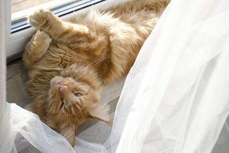 A young large red marble Maine coon cat lies on a white curtains against a window in sunlight Banco de Imagens