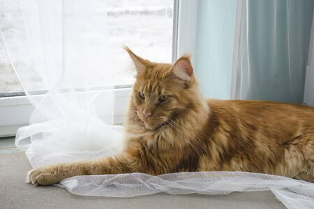 A young large red marble Maine coon cat lies on a white curtains against a window in sunlight Stock Photo