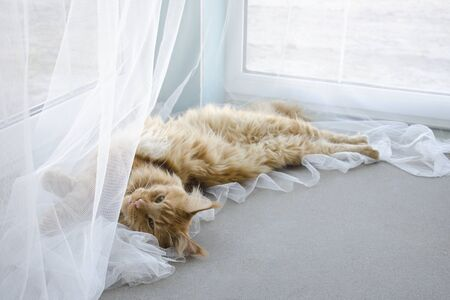 A young large red marble Maine coon cat lies on a white curtain against a window in sunlight and stretches Stock Photo
