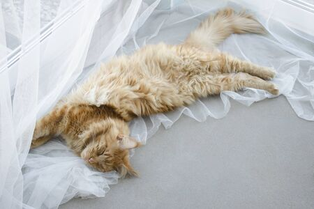 A young large red marble Maine coon cat lies on a white curtains against a window in sunlight and stretches
