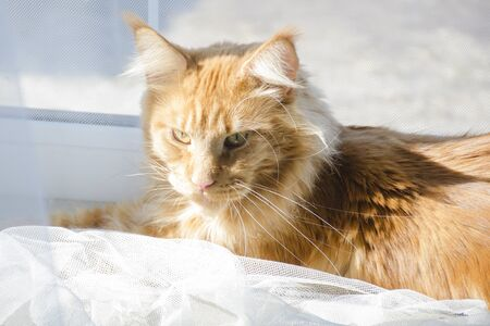 A young large red marble Maine coon cat lies on a white curtain against a window in sunlight