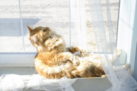 A young large red marble Maine coon cat sits in a strange pose on a white curtain at the window in sunlight and looks surprised
