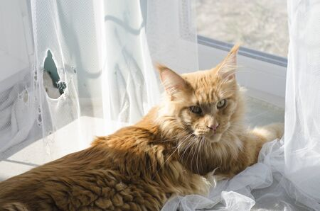 A young large red marble Maine coon cat lies near torn curtains against a window in sunlight and looks at the camera guiltily
