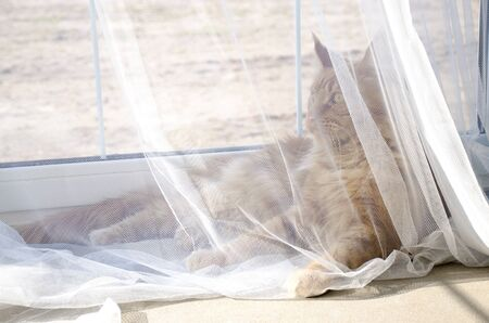 A young large red marble Maine coon cat lies behind a white curtain against a window in sunlight