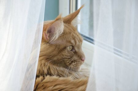 Close up of a young large red marble Maine coon cat lying and looking out the window behind a white curtain