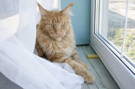 Close up of a young large red marble Maine coon cat lying against the window behind a white curtain
