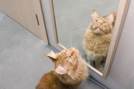 Close-up of large red marble Maine coon cat sits next to the mirror and looks up. The reflection of the cat in the mirror