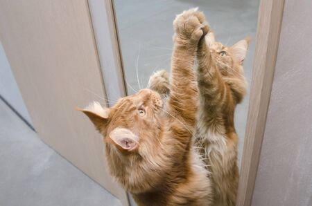 Close-up of a large red marble Maine coon cat stretches by the mirror, standing on its hind legs. The reflection of the cat in the mirror