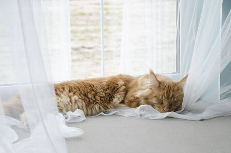 A young large red marble Maine coon cat lies on a white curtain against a window in sunlight and sleeps Stock Photo