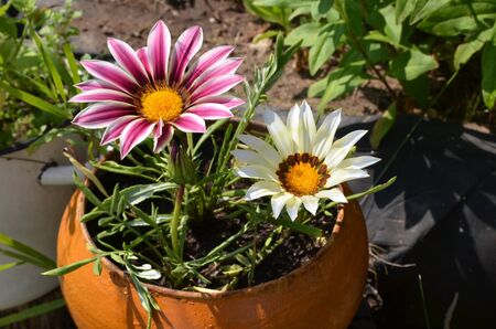 Close up of multi-colored flowers in a pot in a garden on a sunny day