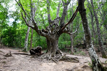 The Koshchei Immortal Tree near the Jur-Jur Waterfall, Crimea, Russia. Old ugly sprawling tree with protruding roots, known for Russian cinema.