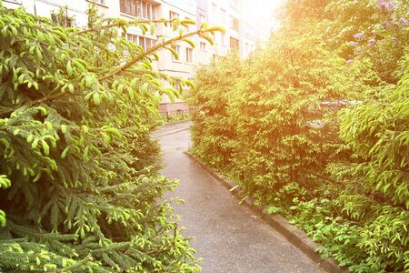 Asphalt path in the city courtyard surrounded by young firs in sunlight. In the background is a residential building