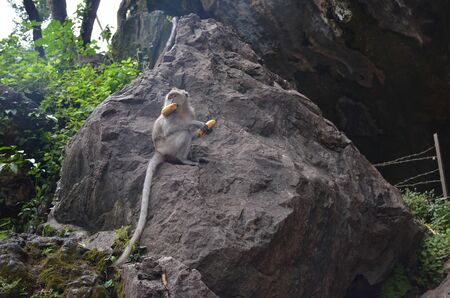 A little brown monkey sits on a large stone surrounded by greenery, holds a banana in its paws and mouth, and looks away