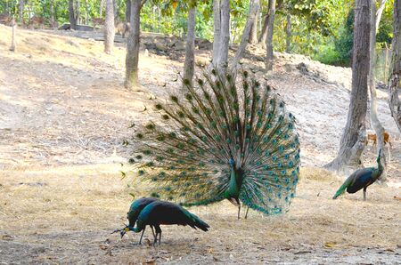 A male peacock with an open tail flaunts in front of the females