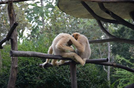 Grooming of two white gibbons sitting on a tree branch in a zoo surrounded by greenery Banco de Imagens