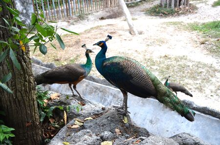 Close up of peacocks with closed tails sitting on the stones by the tree