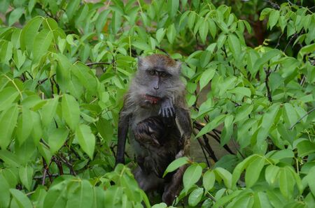 A little brown soaked monkey with her baby on the chest sits in the branches of a tree and looks at the camera. The monkey wipes her mouth soiled after eating. Mom with the baby.