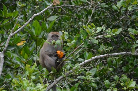 A little brown monkey sits on the branches of a mangrove tree, holds an orange in its paws and looks at the camera