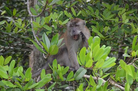 A little brown monkey sits on the branches of a mangrove tree, screams and looks away. Monkey says hello Banco de Imagens