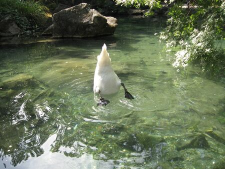 A white swan with black paws pulls out food from the bottom of a transparent pond, bending down. The tail sticks out above the water. Butt swans. Swans dive for food.
