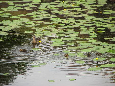 Mother duck with brood of little ducklings on the pond among yellow water lilies Banco de Imagens