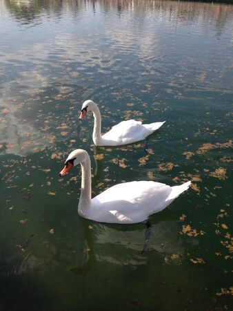 Two white swans swim on a pond on a sunny day. Vertical photo 写真素材