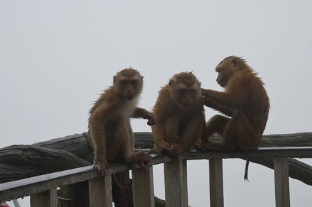 Three small brown soaked monkeys are sitting on the railing against the gloomy rainy sky and looking at the camera. Monkey grooming