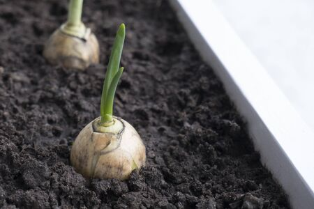 Close-up of green onion sprouts in the ground growing on a garden bed in a home garden. The concept of growth, development, new life