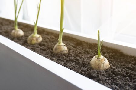 Toned close-up of green onion sprouts in the ground growing on a garden bed in a home garden. The concept of growth, development, new life