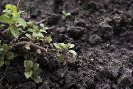 Closeup of green shoots on dark ground. Natural background Banco de Imagens