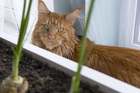 A young large red marble Maine coon cat sits by the window behind a box with a home garden and looks out Banco de Imagens