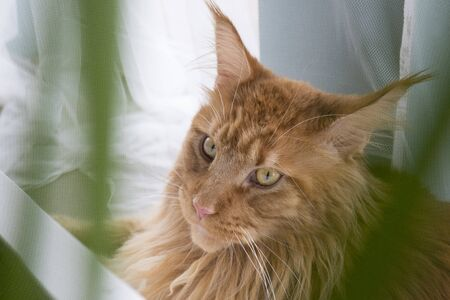 Portrait of young large red marble Maine coon cat sitting by the window and looking to the side in a frame of blurred green in foreground