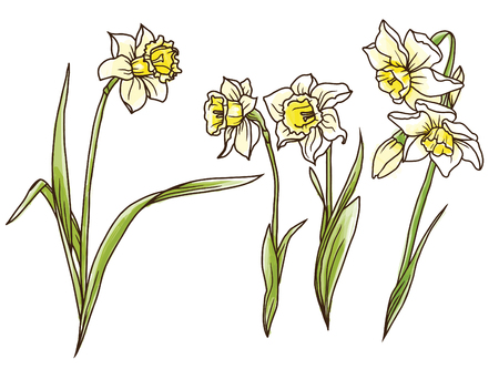 Set beautiful narcissus flowers on hand drawn background, vector illustration Illustration