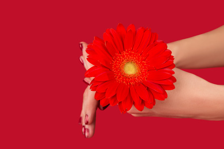 red floral: red flower gerbera in woman hands isolated on red background Stock Photo