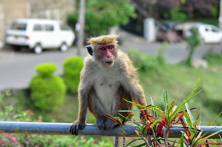 Portrait of a monkey in the wild nature of Asia. The monkey sitting on a balustrade and looking away