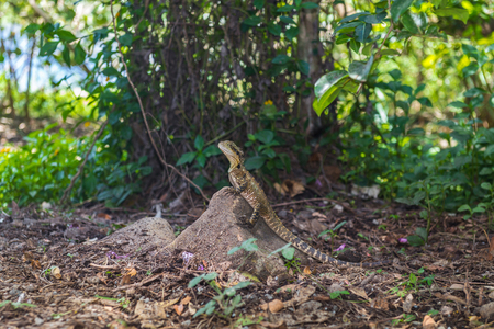 Lizard or varan sits on a stone in the wild on a background of green park, Australia