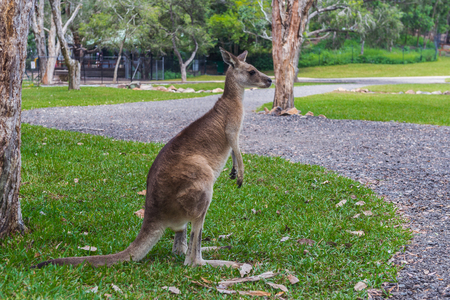 Kangaroo stands on green grass in the park and looks away, Australia Stockfoto
