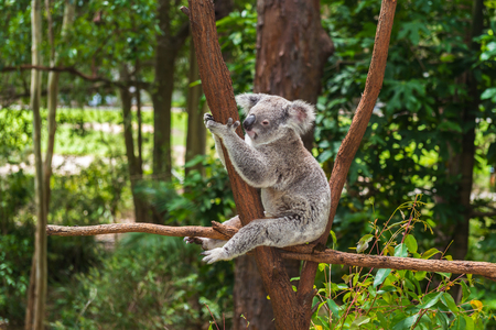 Cute koala sitting on a trees in a green summer park in Australia. Soft blurred background behind Standard-Bild