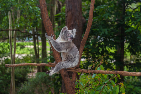 Cute koala sitting on a trees in a green summer park in Australia. Soft blurred background behind 免版税图像