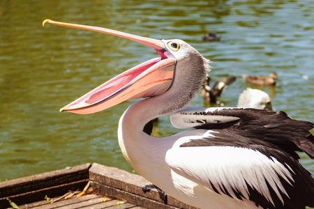 Beautiful white pelican with open beak in the park on background of the river, Australia, Adelaide. Pelicans are the large water birds