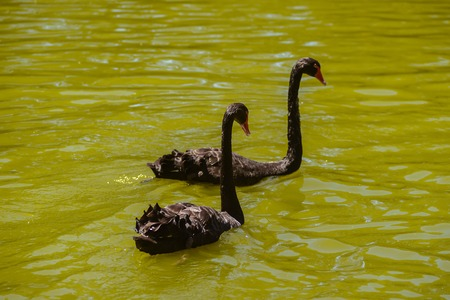 Two black swans swim in a river in a sunny day, Australia, Adelaide 免版税图像