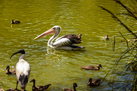 beautiful white pelican and ducks are swimming in the river in the park, Australia, Adelaide. The large water bird have a rest in a sunny summer day 免版税图像 - 121515208