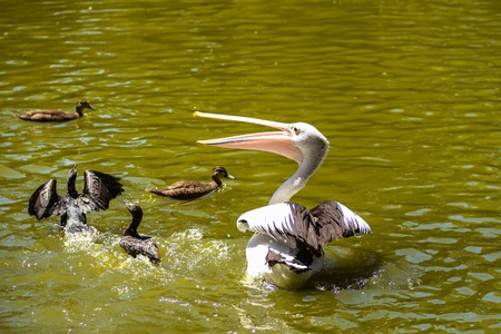 beautiful white pelican and ducks are swimming in the river in the park, Australia, Adelaide. The large water bird have a rest in a sunny summer day