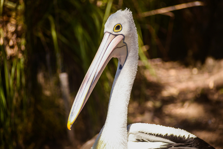 Portrait of a beautiful white pelican in the park, Australia, Adelaide. Pelicans are the large water birds