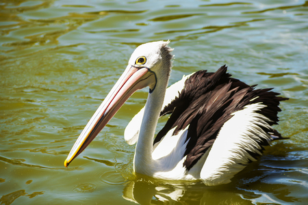 beautiful white pelican swims in the river in the park, Australia, Adelaide. The large water bird have a rest in a sunny summer day