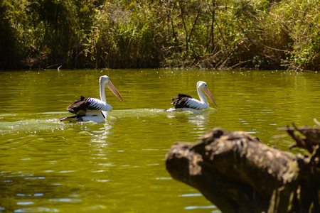 beautiful white pelicans swim in the river in the park, Australia, Adelaide. The large water birds have a rest in a sunny summer day 免版税图像
