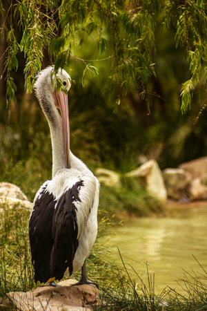 Beautiful white pelican cleans feathers in a park, Australia, Adelaide. The large water bird have a rest in a sunny summer day